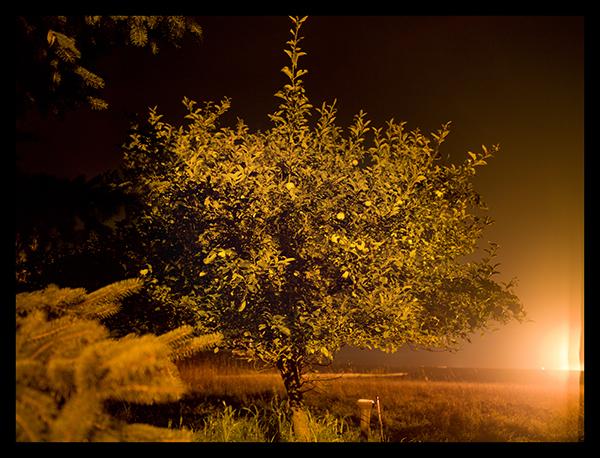 Apple Tree,  Susquehanna County, PA  2011